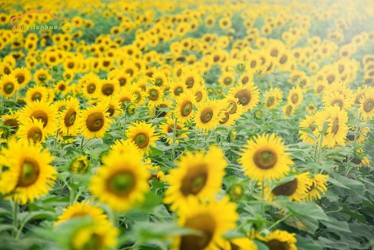 Cảnh đồng hoa Hướng Dương Vinh Nghệ An
